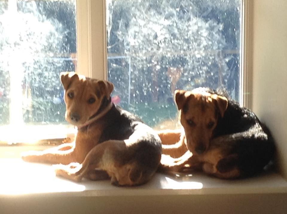 Lost Two Black Tan Lakeland Russell Terriers Bickerton