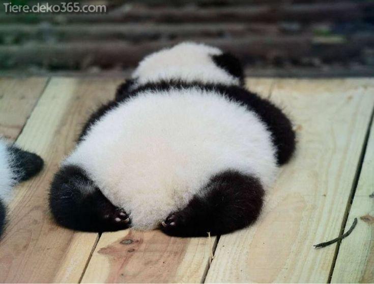 Kreative und Großartige Lustige Panda-Bilder, die uns Raserei zeugen #babypandabears