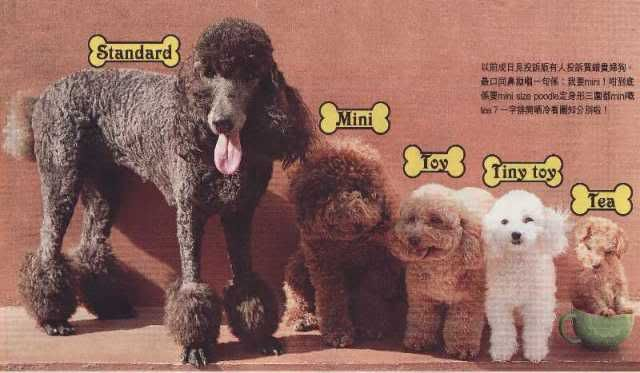 Doesnt Matter The Size They Are All Great Toy Poodle