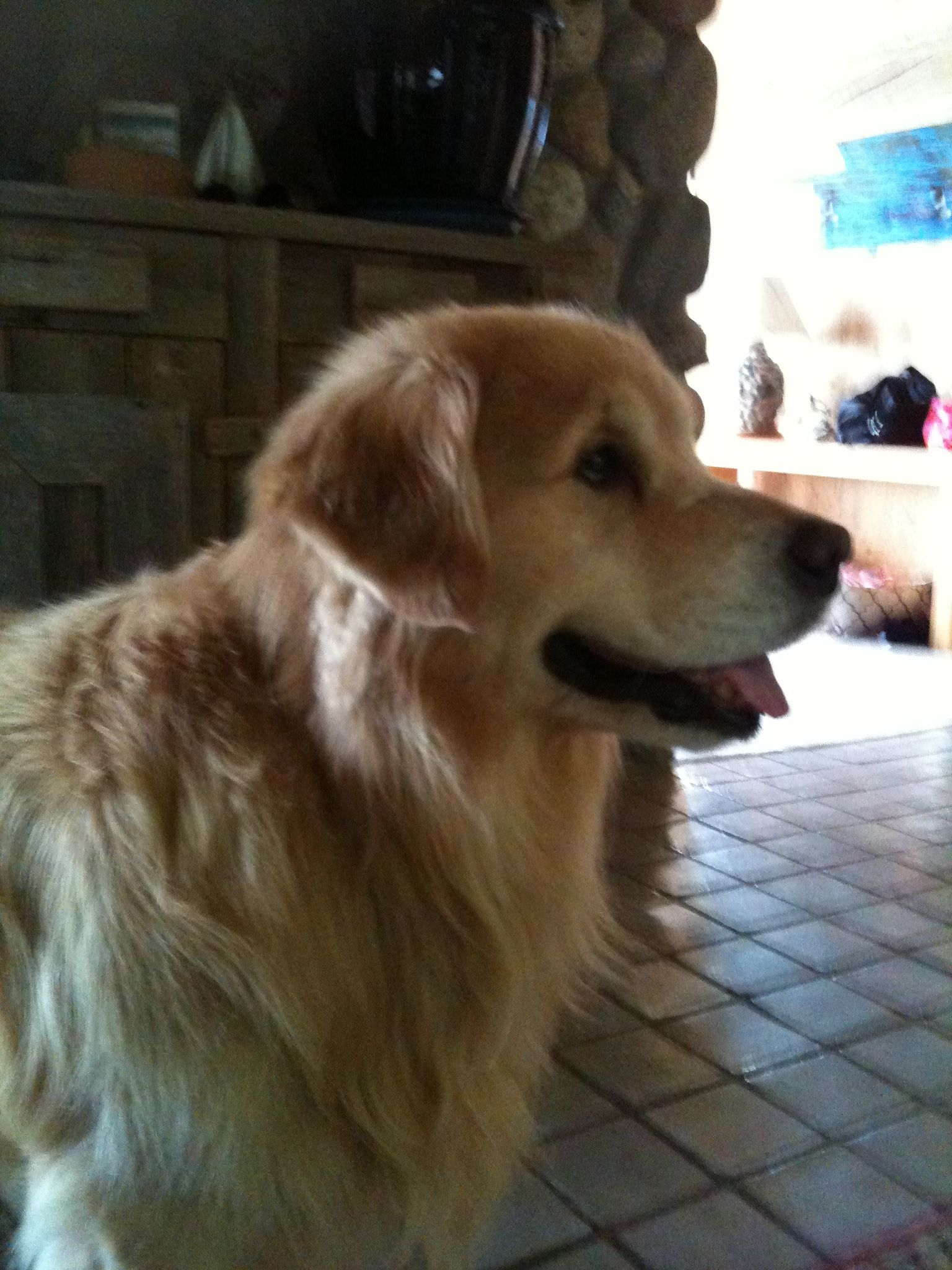 So cute! I love golden retrievers! They look like lions and they're so nice!