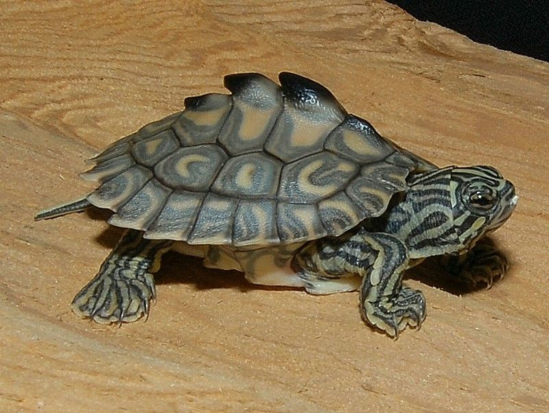 Yellow Blotched Map Turtle For Sale From The Turtle Source Map Turtle Turtle Habitat Pet Turtle