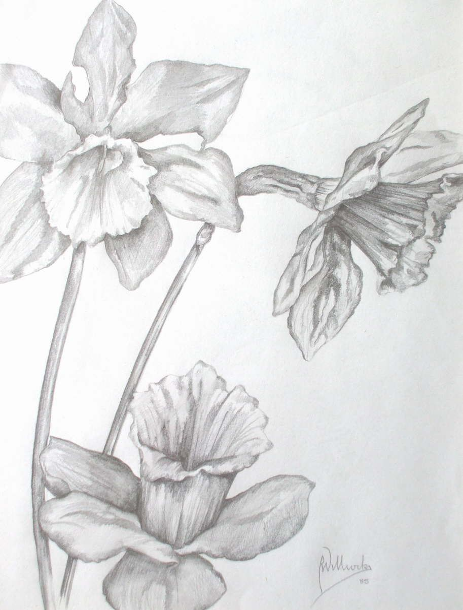 pencil drawing daffodil - Google Search
