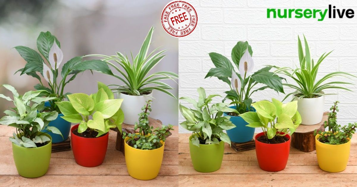 Nurserylive is giving away 50,000 Plants this Diwali to promote a  pollution-free, healthy Diwali. Take the pledge to win an indoo…