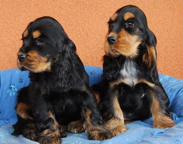 6 Cute Black And Tan Cocker Spaniel Puppies Photos Cocker Spaniel Puppies Cocker Spaniel Puppies