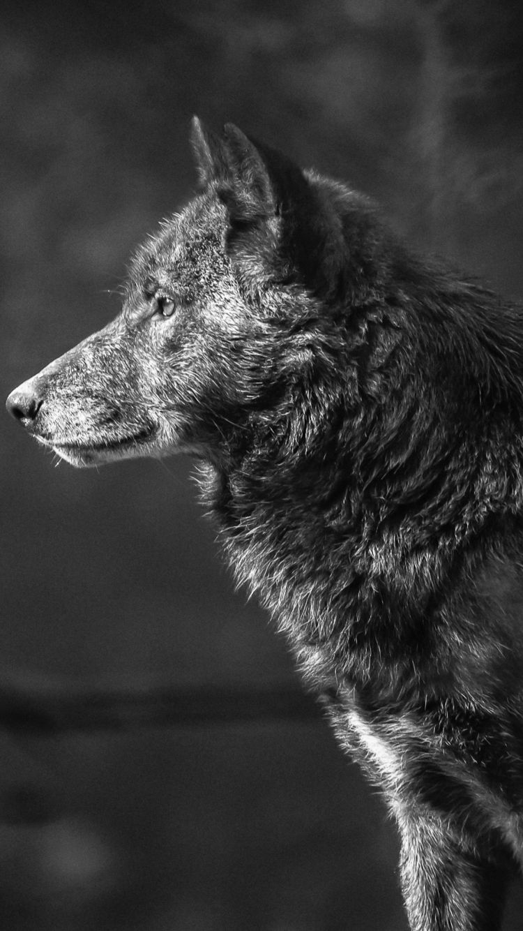 Pin by Naomi Braswell on Black & White Pics Wolf