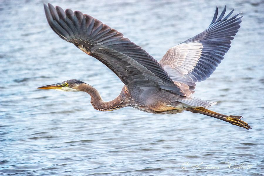Great Blue Heron Flying By