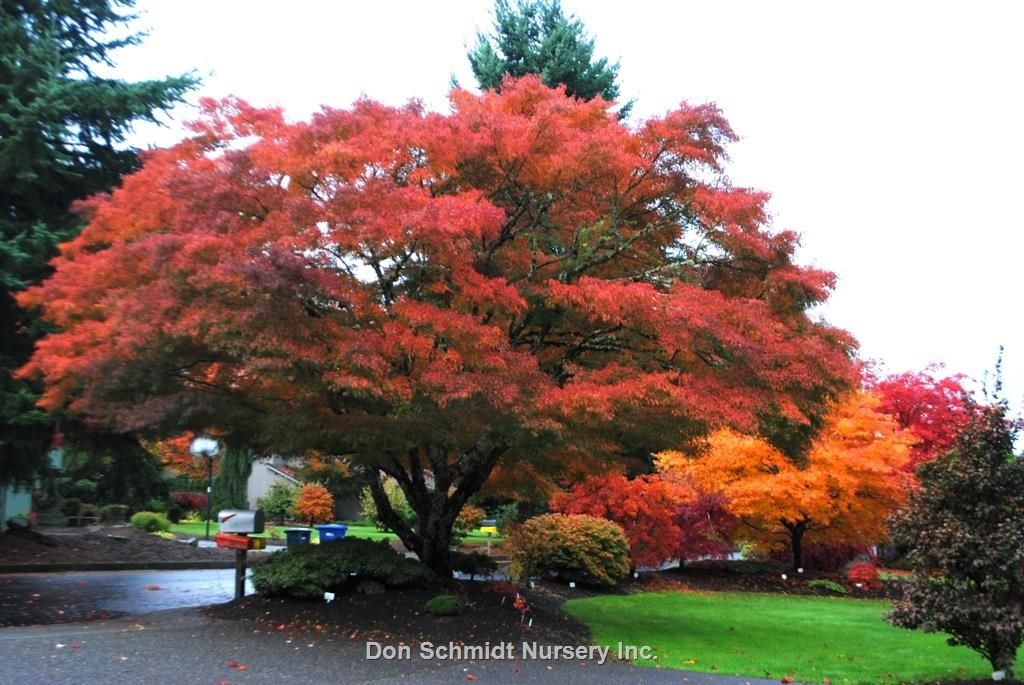 Acer Palmatum Var Dissectum Seiryu The Only Upright Laceleaf