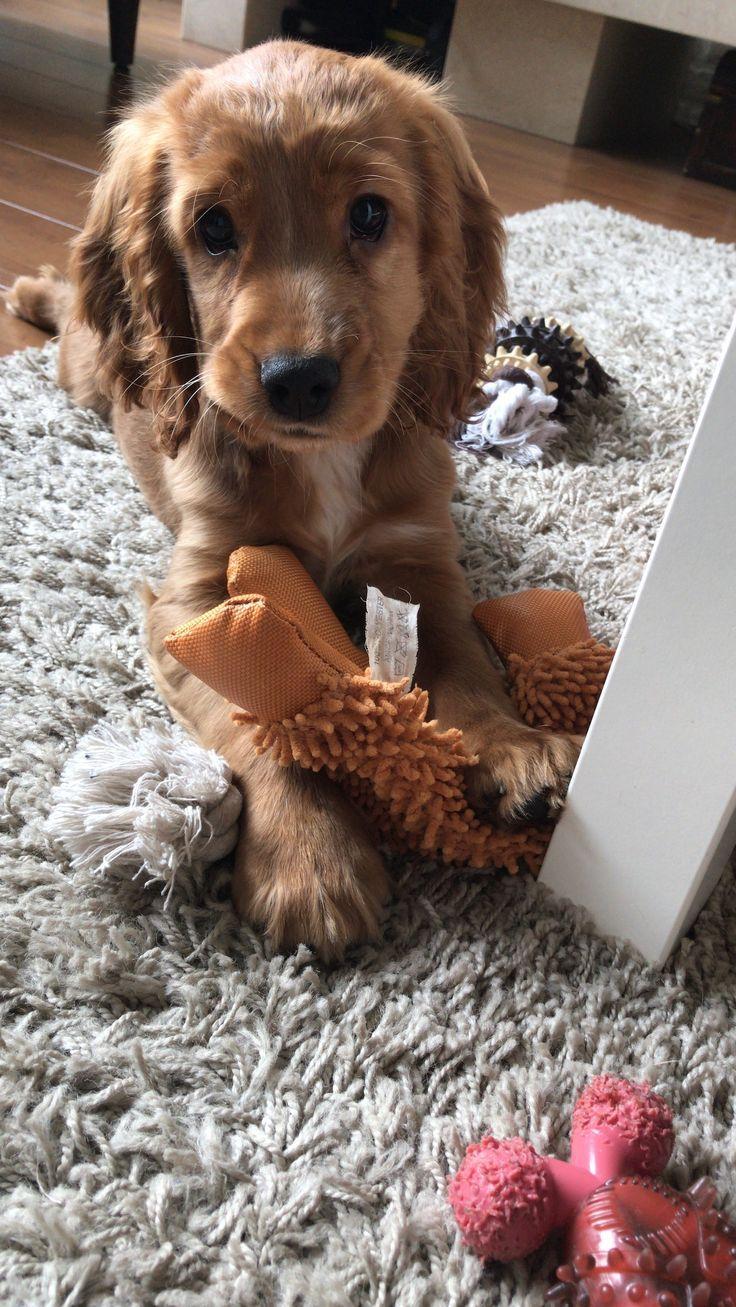 Cocker spaniël ️ Dogs for sale, Dogs, Cocker spaniel puppies