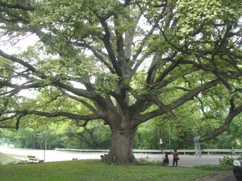 Image result for chinkapin oak tree