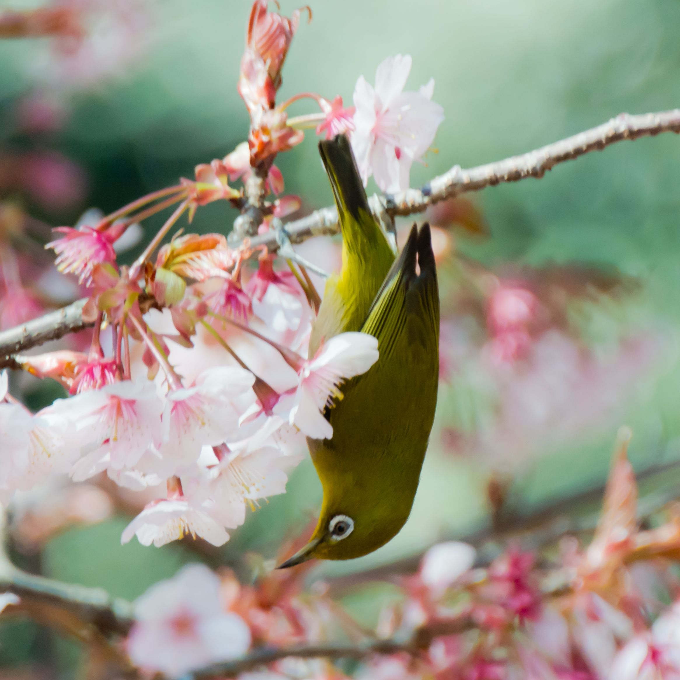 2012 White-eye and Cherry blossoms | Photo by: shinichiro | #japan | #birds | sakura