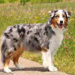 Getting To Know The Australian Shepherd Australian Shepherd Dogs Australian Shepherd Shepherd Dog Breeds