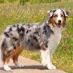 Getting To Know The Australian Shepherd Australian Shepherd Dogs Australian Shepherd Shepherd Dog Breeds