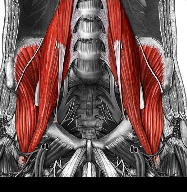 Biology 1011 > Marion > Flashcards > anatomy muscles | StudyBlue ...