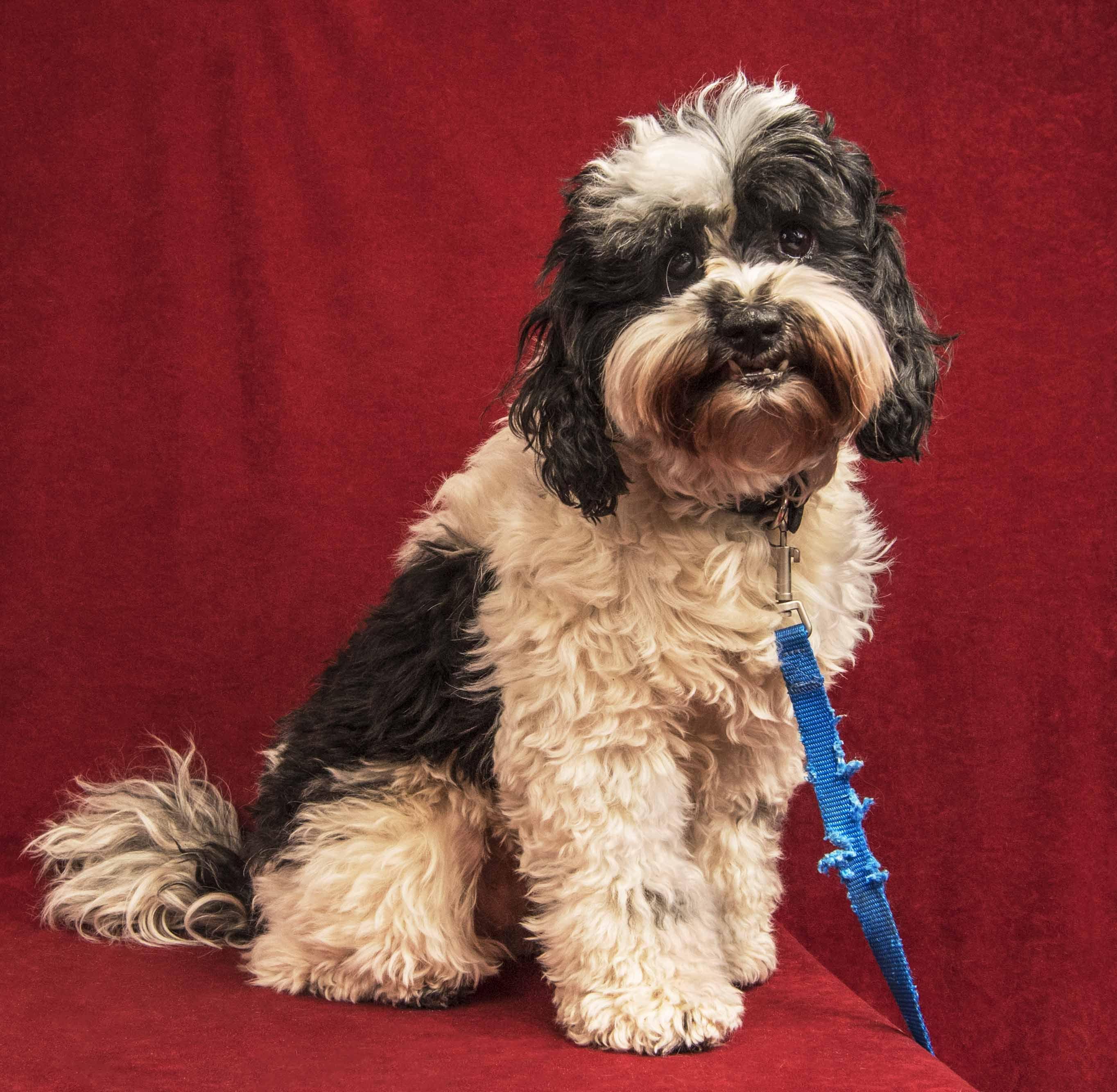 Shih Tzu dog for Adoption in Davis, CA. ADN599082 on