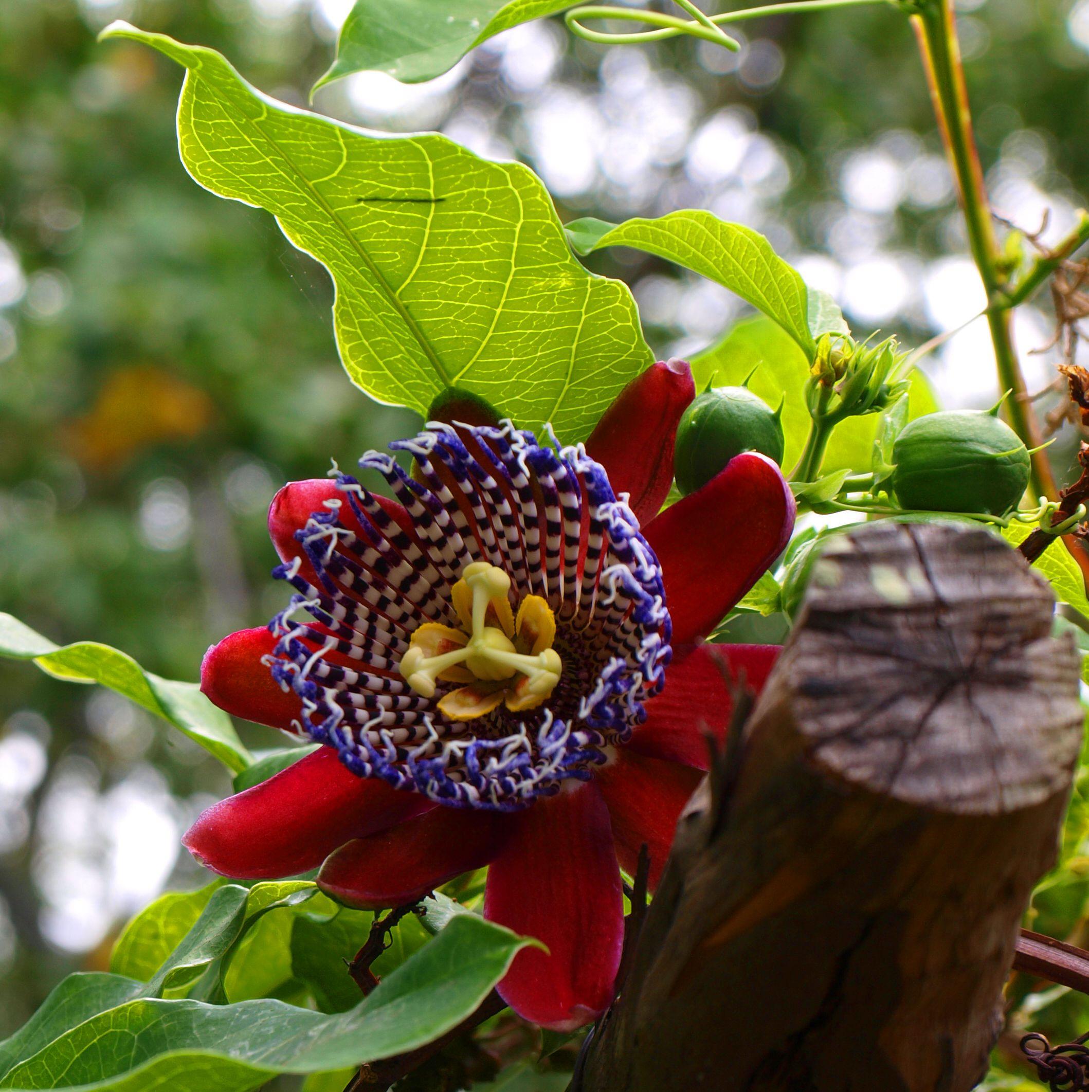 Passion Flower Goruntuler Ile Cicek Guller Doga