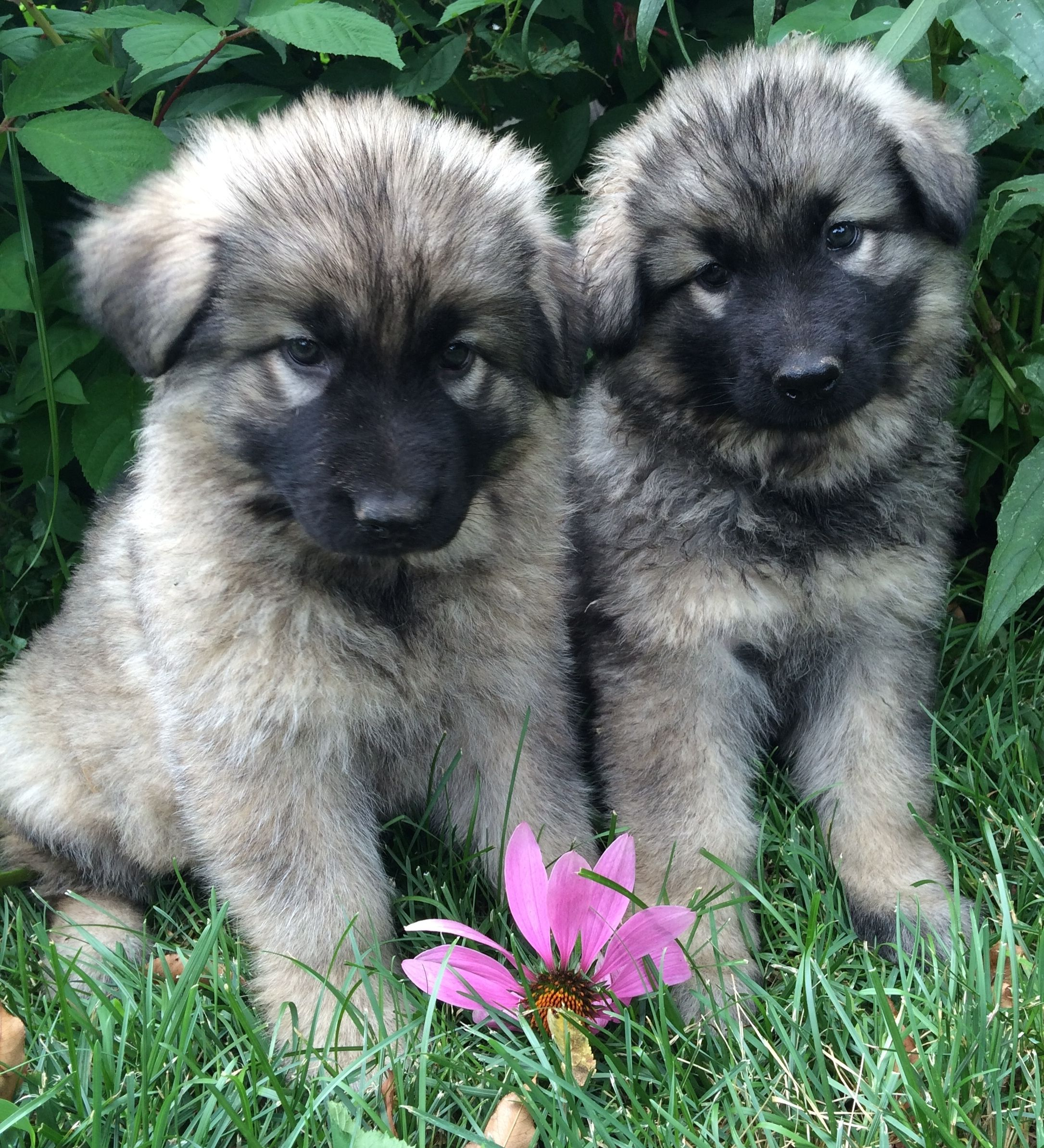 Puppies Highland Hills Shiloh Shepherd Puppies For Sale