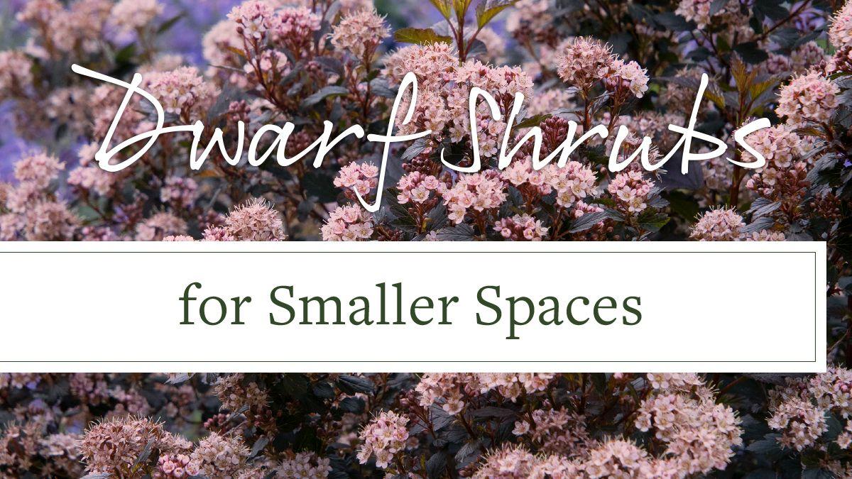 Dwarf Shrubs For Small Spaces Grow Beautifully Dwarf 400 x 300