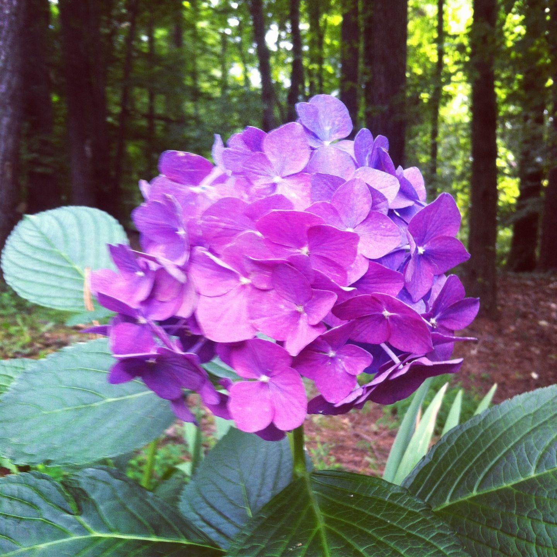 Backyard Hydrangea Backyard Hydrangeas Flower Power Hydrangea