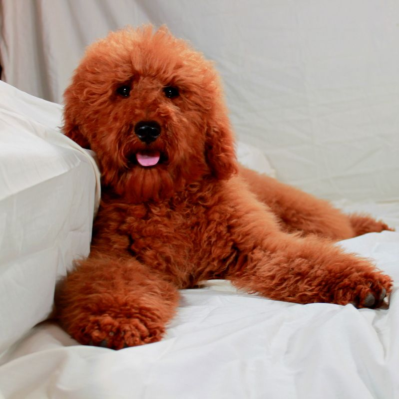 Pin On Red Moyenklein Poodles