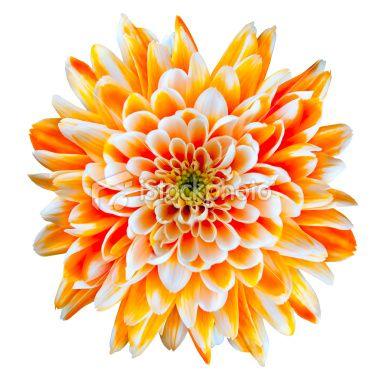 Single Orange And White Chrysanthemum Flower Isolated On White Chrysanthemum Flower Birth Flower Tattoos Chrysanthemum Flower Pictures