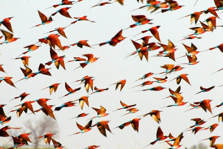incredible photo by Michael Poliza  Carmine Bee Eaters