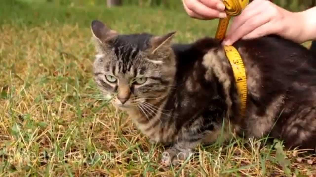 How To Measure Your Cat For A Harness Howto Cats Petoodles Net Cat Harness Cat Costume Diy Cats
