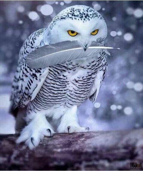 Snowowls rock!!!