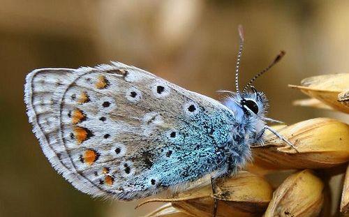 the softest fuzziest blue butterfly
