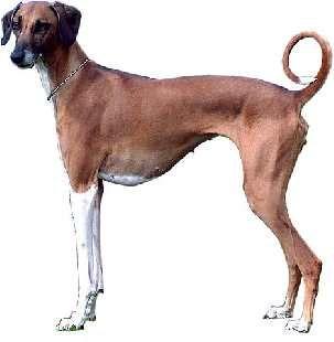 African Dog Breeds Which Dog Breeds Originated In Africa