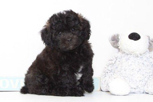 Shih Poo Puppy For Sale In Naples Fl Adn 34562 On Puppyfinder