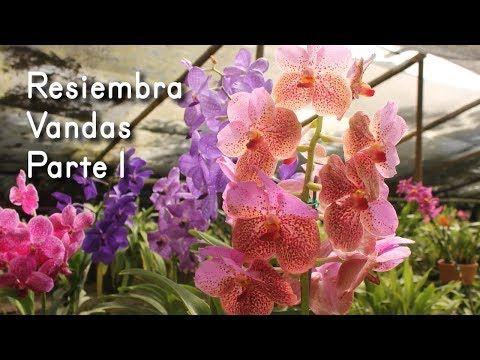 dd3d4ffe7d1ed Resiembra de Orquídea Vanda - Corte y Reparación de Raíces - YouTube    plantas   Pinterest   Orquidea vanda, Plantas y La raiz