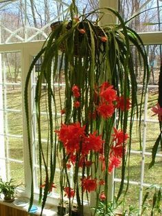 Orchid Cactus | Orchids | Orchid Flowers
