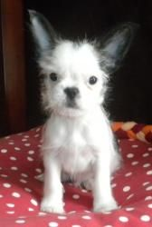 Spot Is An Adoptable Shih Tzu Dog In Troy Mi Pleae Be Sure To