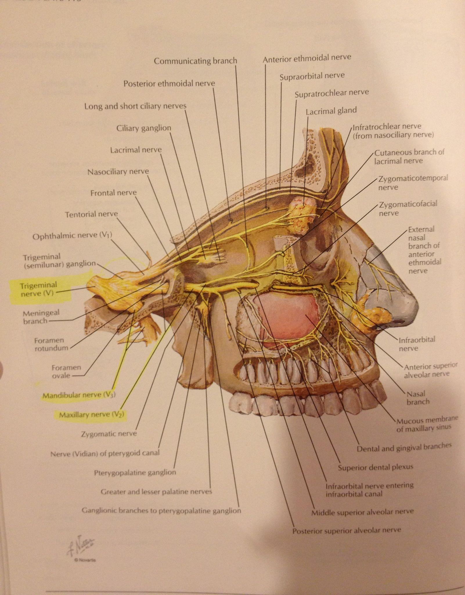 Trigeminal Neurolgia ~Nerve up close | Head and neck | Pinterest ...