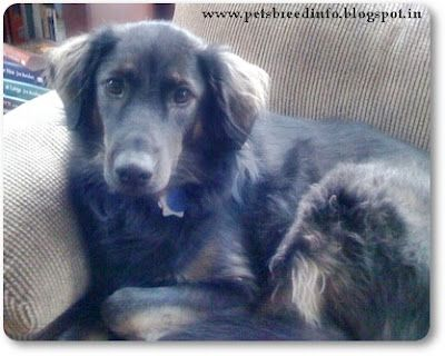 Afador The Afador Is A Cross Between An Afghan Hound And A