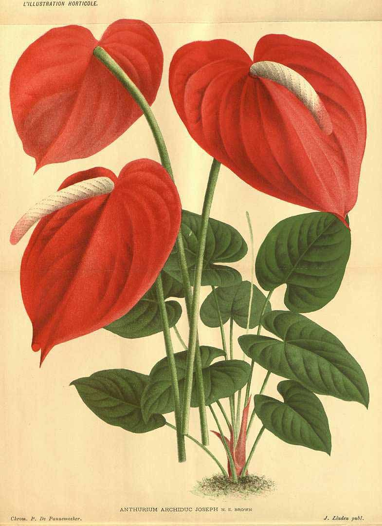 113898 Anthurium Andreanum X Lindenii L Illustration Horticole Vol 32 T Illustration 1885 Antique Botanical Print Botanical Prints Flamingo Flower