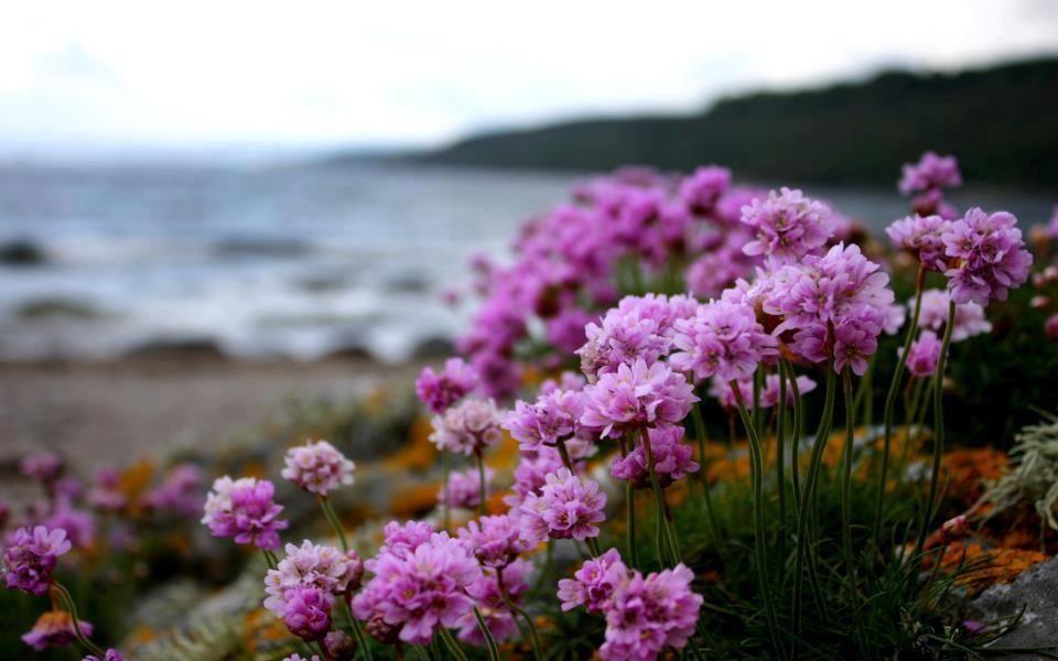 Flores rosas cerca de la playa.