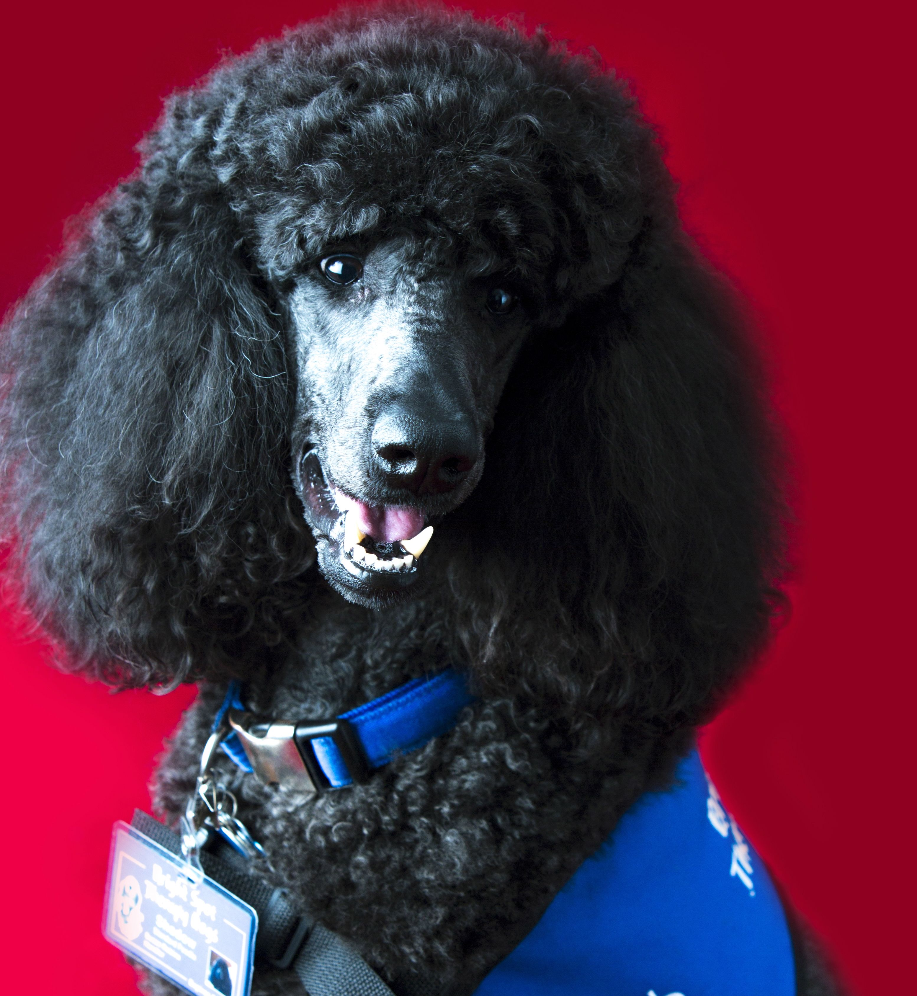Shadow Is A Member Of The Boston Children S Hospital Dog Visitation Program The Pawprints Program Standard Poodle Dogs With Jobs
