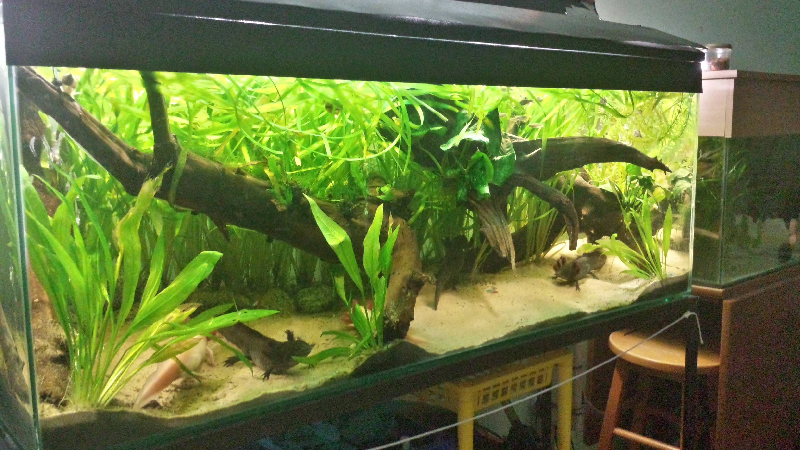 45 gallons 5 axolotls danios guppies white cloud for How much is a fish tank