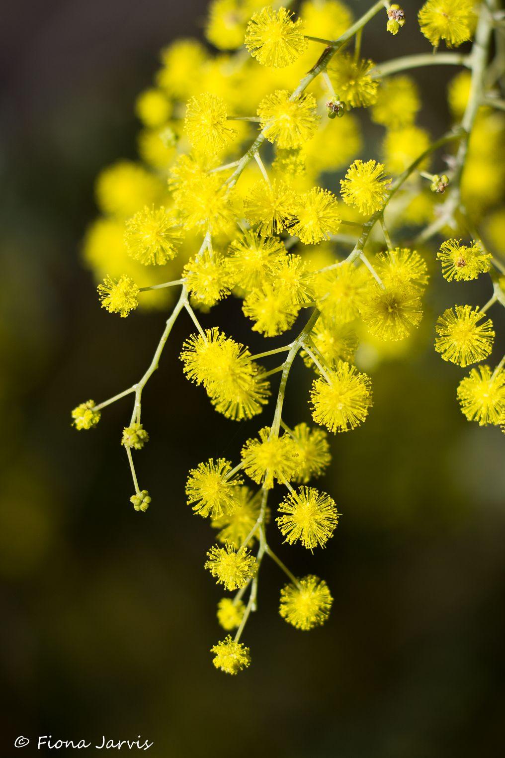 'Golden Wattle' Australian Wildflowers Art Print by Fiona