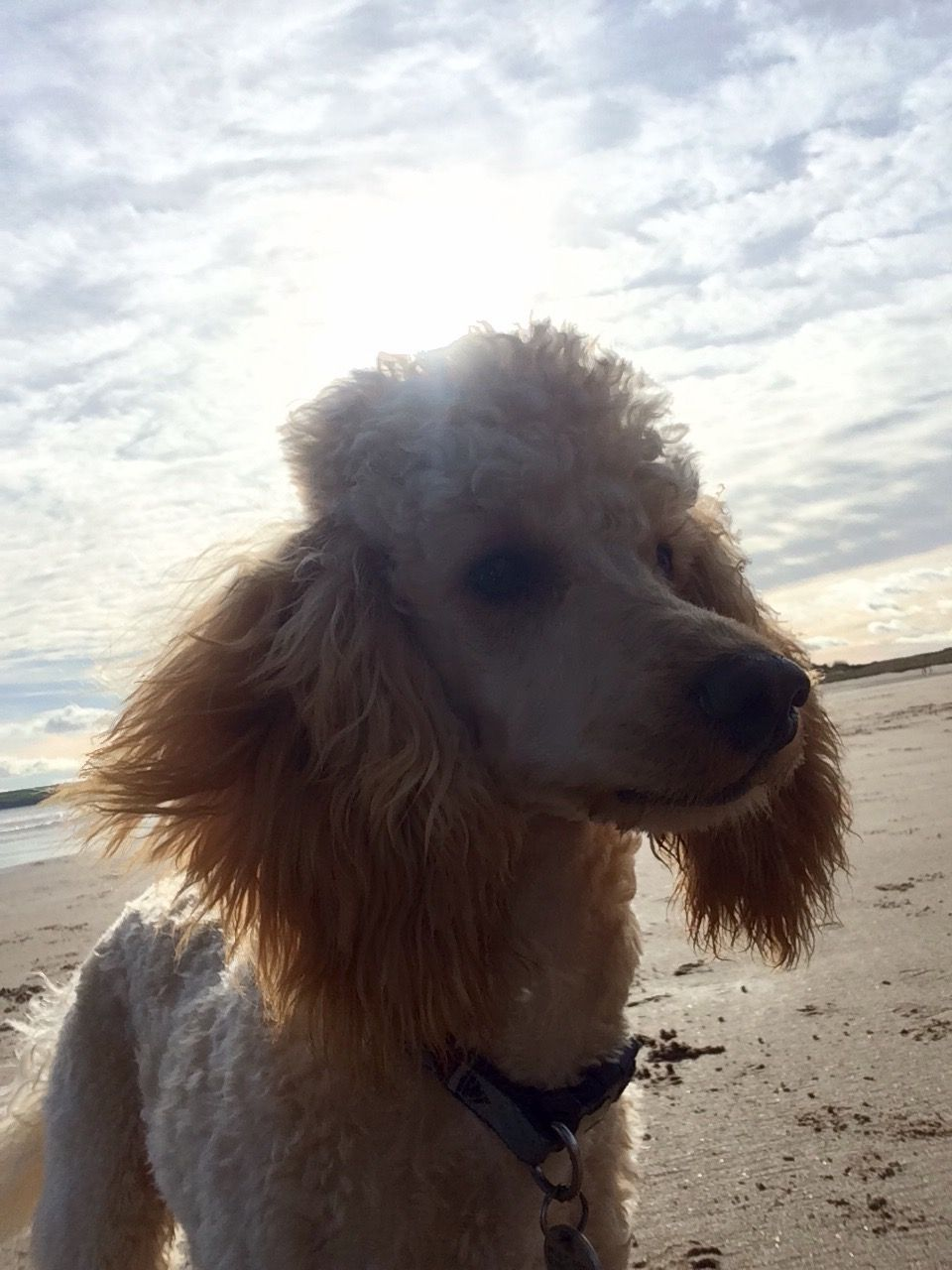 Miniature poodle, Chester, 10 months old, Apricot