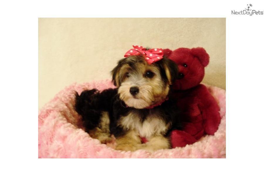 Fi Fi Sold Sold Yorkie Poo Yorkie Poo Puppies Yorkie Poo For Sale
