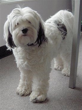Well hey there, whats your name? Tibetan terrier