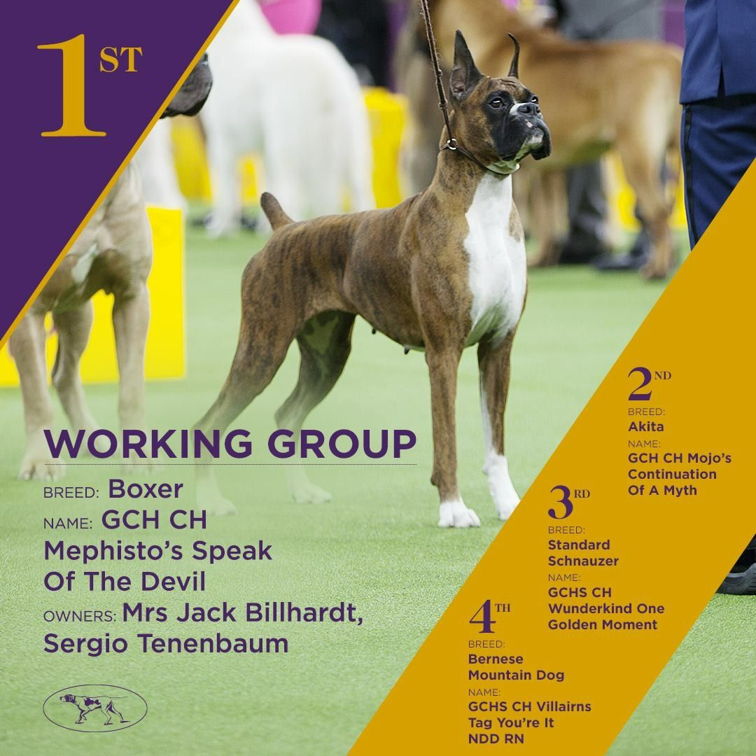 Devlin The Boxer Winner Of The Working Group At Westminster