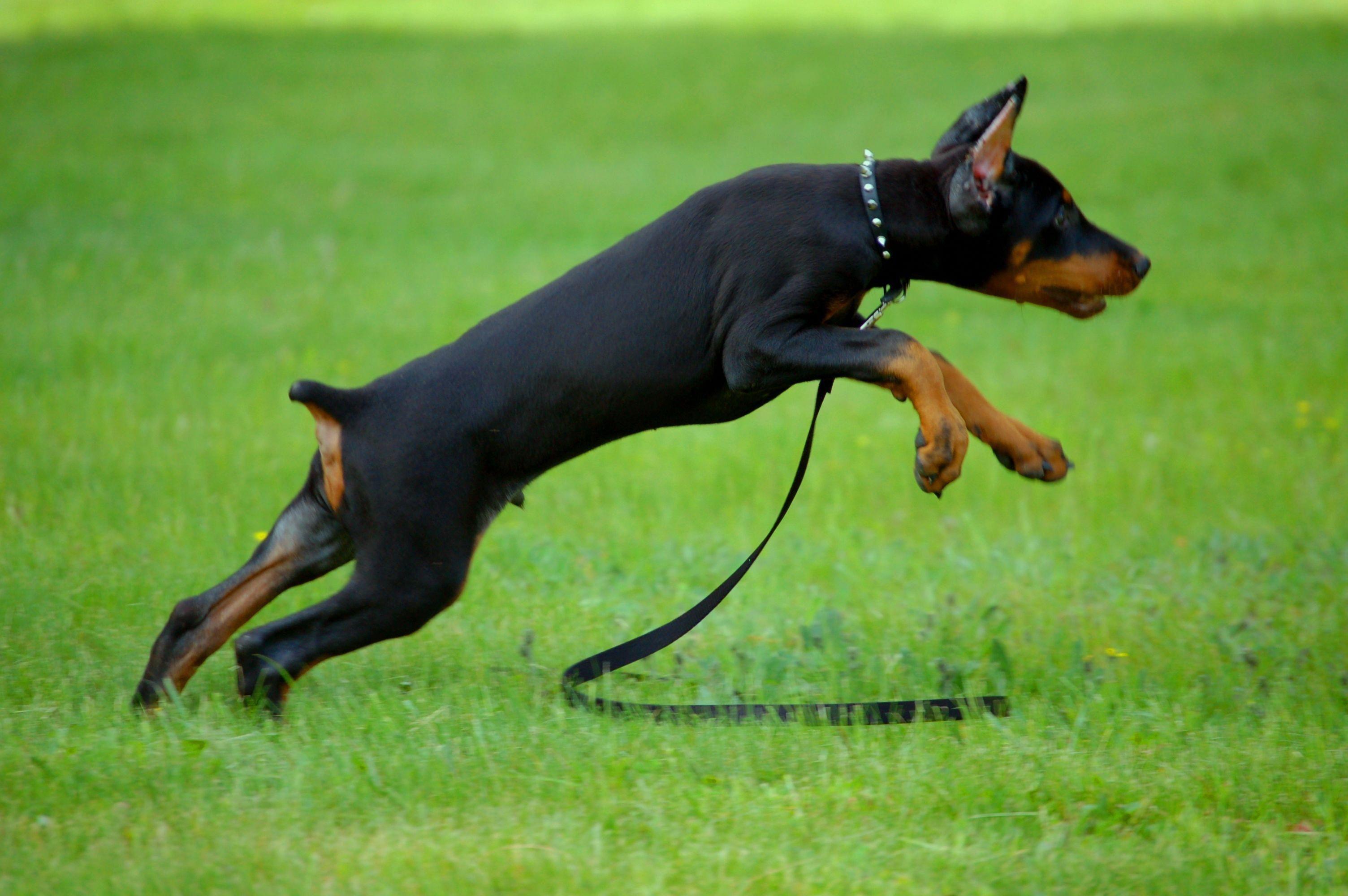 Discover The Alert Doberman Pinschers Pup Size Dobermanlovers