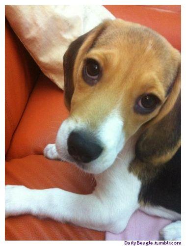 A Cute Beagle Selfie Cute Beagles Beagle Pictures Beagle Puppy