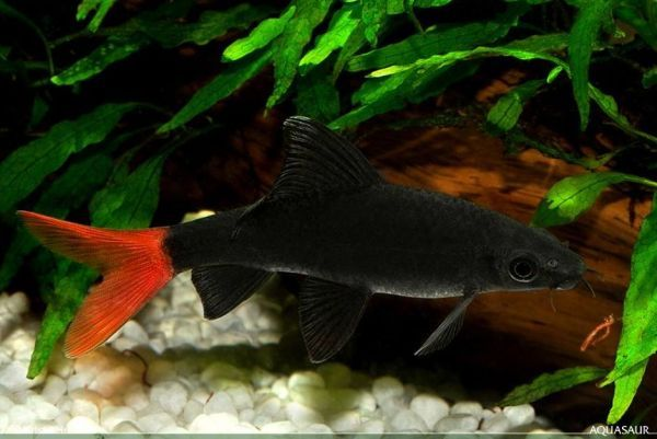Red Tailed Black Shark Epalzeorhynchos Bicolor Smith 1931 Critically Endangered In The Wild But Comm Tropical Freshwater Fish Fish Pet Species Of Sharks