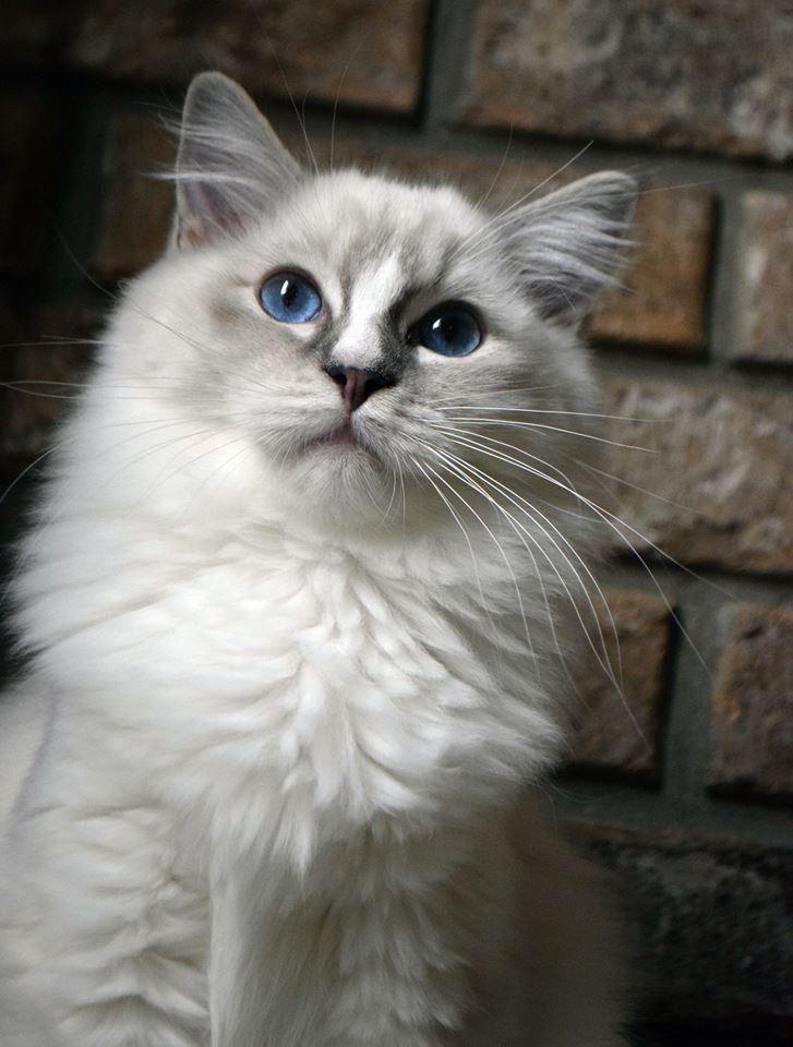 Blue Lynx Mitted Female Named Insigna Ohemgee Cats Cat Fluffycat Ragdolls Ragdoll Kittens Bluelynx Bluemitt Lynxr Ragdoll Cat Cat Entertainment Cats