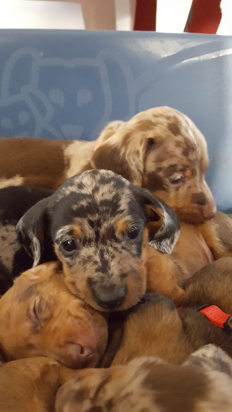 Pin By Mya On Doxies Dachshunds Funny Dachshund Dapple Dachshund Dachshund Puppies