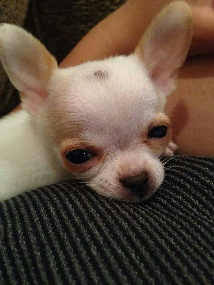 Look At That Face Teacup Chihuahua Puppies Chihuahua